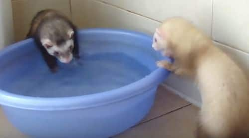 do ferrets like to swim
