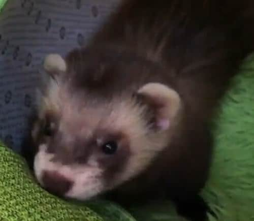 life ferret