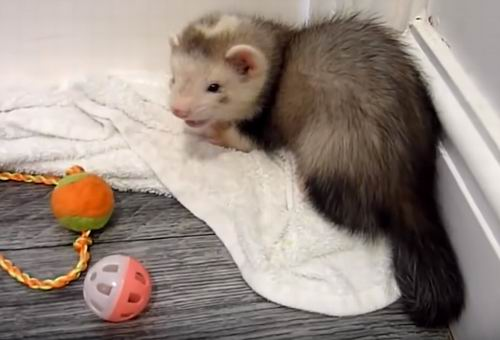 what do ferrets like to play with