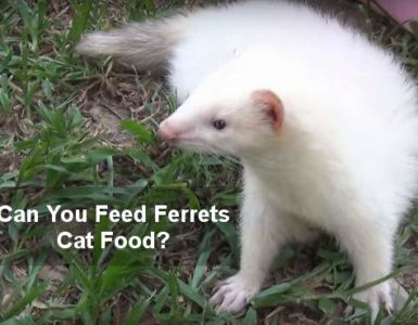 can you feed ferret cat food