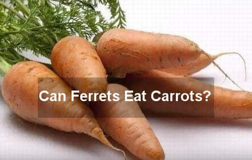 can ferrets eat carrots