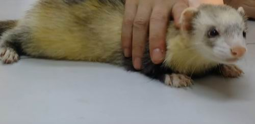 how to house train a ferret