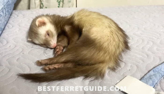 Best Bedding for Ferrets