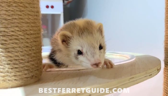 Can Do Ferrets Eat Mice