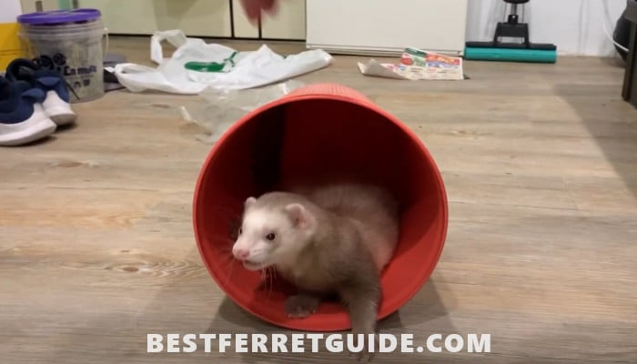 Do Ferrets and Cats Get Along