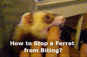how to stop a ferret from biting