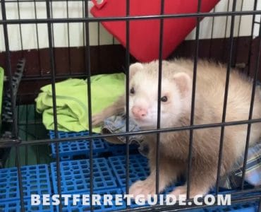How Big Should a Ferret Cage Be?