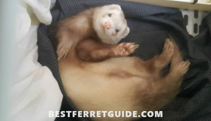 Do Ferrets Need a Lot of Space