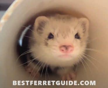 Can Ferrets Eat Eggs