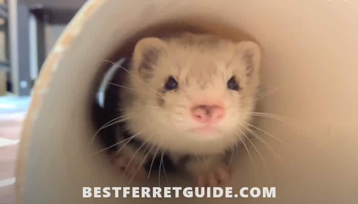 How to Choose the Best Ferret Food