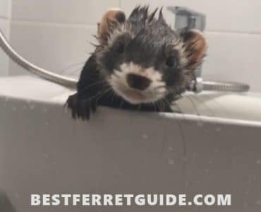 How Often Should You Bathe a Ferret