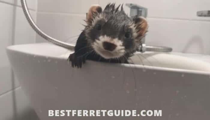 How Often Should You Bathe a Ferret