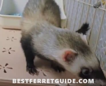 How to Train a Ferret to Use a Litter Box