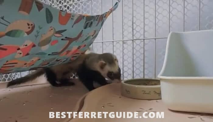 Ways to Accustom a Ferret to a Special Toilet