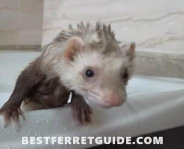 Best Shampoo and Conditioner for Ferrets
