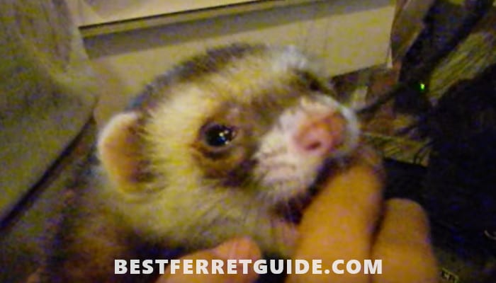 Can You Use Dog or Cat Shampoo on Ferrets?