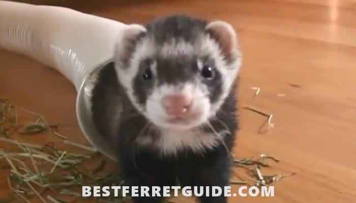 Best Ferret Shampoo and Conditioner